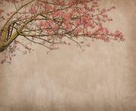 丝绸绣花丝绒树, Chorisia Speciosa的花 免版税图库摄影