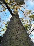 丝绸绣花丝绒树-一棵prickled热带树抗性对天旱 免版税图库摄影