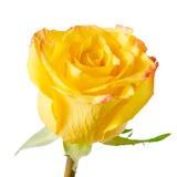丢失与d的抽象浪漫美丽的黄色玫瑰花 免版税库存照片