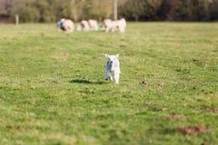 丢失的羊羔 免版税库存照片
