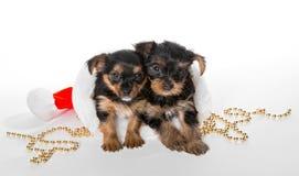 两一点约克夏狗小狗和圣诞老人帽子 免版税库存图片
