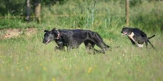 两一起使用的Sighthounds 免版税库存图片
