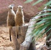 两一起坐的meerkat 免版税库存照片
