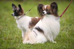 两一起美丽的纯血统Papillon、小狗和成人动物 免版税库存图片
