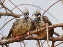 两三两只超级逗人喜爱的甜可爱的可爱的迷人的异乎寻常的鸟一起坐分支 库存照片