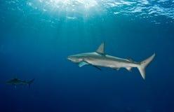 两三加拉帕戈斯鲨鱼 库存照片