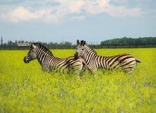 两三匹斑马在开花的大草原 免版税库存图片