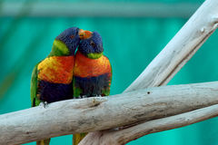 两三只五颜六色鹦鹉亲吻 图库摄影