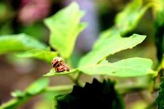 两三只瓢虫 免版税库存照片