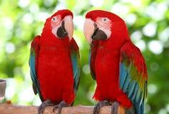 两三只美丽的金刚鹦鹉 免版税库存图片