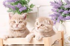两三只苏格兰红色小猫在一个装饰木箱坐 免版税库存照片