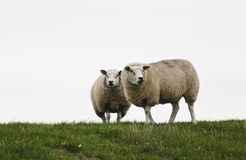两三只观看的绵羊,荷兰 库存图片