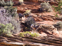 两三只野生石山羊, 免版税库存图片
