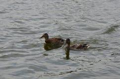 两三只野鸭 免版税图库摄影