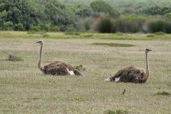 两三只驼鸟在De Hoop自然保护 图库摄影
