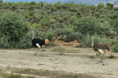 两三只驼鸟在oudtshoorn区域 免版税库存图片