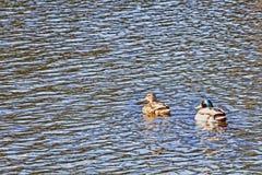 两三只鸭子在河游泳并且看照相机 免版税库存照片