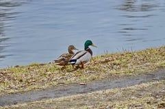 两三只鸭子走动 免版税库存照片