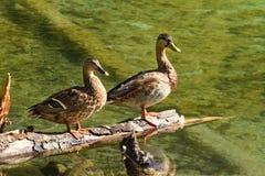 两三只鸭子 免版税库存照片