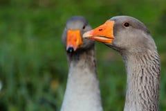 两三只鹅 免版税库存照片