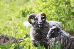 两三只绵羊和绵羊吃在草甸的绿草 库存照片