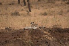 两三基于在Tarangire na的小峭壁的猎豹 免版税图库摄影