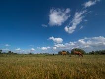 两三头母牛在草甸和蓝天站立 库存图片