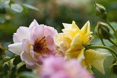两三朵嫩和美丽的玫瑰特写镜头与围拢他们的budes的在软的绿色背景 库存照片