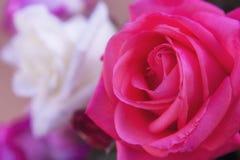 两三朵玫瑰 免版税图库摄影
