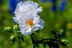 两三朵美丽的白色多刺的鸦片野花 库存图片