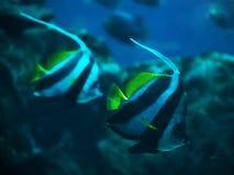 两三条鱼在深蓝色海洋swi的Heniochus acuminatus 免版税库存图片