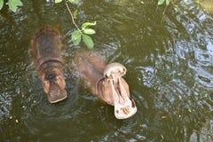 两三河马HIPPOPOTAMUSE在水中 免版税库存照片