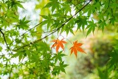 两三片秋天槭树叶子 免版税库存图片