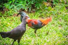 两三红色雄鸡和黑母鸡是求婚和找到fo 免版税图库摄影
