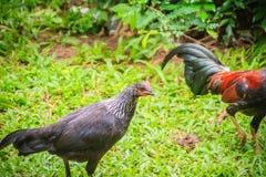 两三红色雄鸡和黑母鸡是求婚和找到fo 免版税库存图片