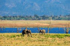 两三头亚洲大象 免版税库存图片