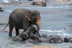 两三头大象小牛上升在一头成人大象,沐浴在玛哈大矢河在中央斯里兰卡 库存图片