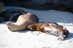 两三头海狮的弛豫时间在点拉霍亚 免版税库存图片