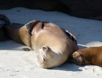 两三头海狮的弛豫时间在点拉霍亚 免版税图库摄影