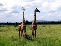 两三头长颈鹿争吵,坦桑尼亚, Ruaha国家公园 免版税库存照片