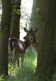 两三头鹿 免版税库存图片