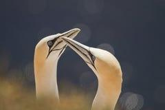 两三gannets 库存照片
