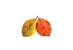 两上色了在白色被隔绝的背景的秋天叶子 图库摄影