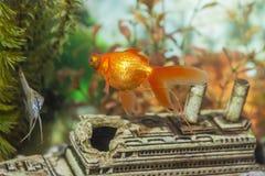 两不同普通的Scalare单独鱼和鲫属气氛 库存图片