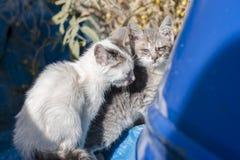 两与变酸的眼睛的白灰色矮小的饥饿的无家可归的小猫在蓝色桶附近在雅典,希腊 库存照片