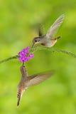 两与桃红色花的鸟 蜂鸟布朗紫罗兰色耳朵, Colibri delphinae,在美好的紫罗兰色绽放,好的flowe旁边的鸟飞行 免版税库存图片