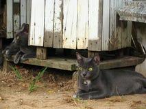 两与猫房子的泰国灰色恶意嘘声在地方村庄 免版税库存图片