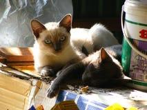 两与猫房子的泰国灰色恶意嘘声在地方村庄 库存图片