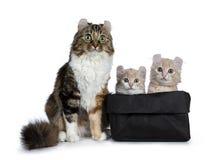 两与白色美国卷毛猫小猫的奶油与在他们旁边的母亲 ,隔绝在白色背景 n 库存图片