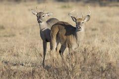 两个一岁白尾鹿大型装配架 免版税库存照片